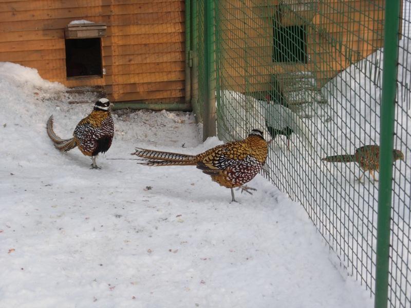 Выращивания фазанов 81